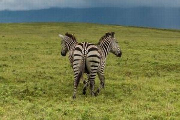 2頭いるのにお尻は1つ、アフリカでユニークなシマウマの写真が撮影される
