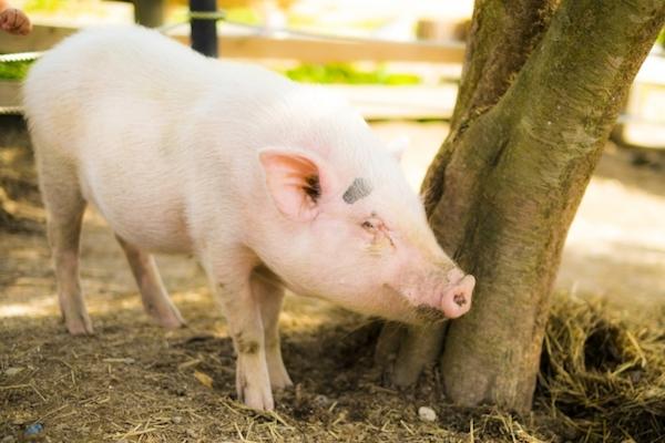豚の精液をシャンプーのボトルに入れて持ち込もうとした男性が、豪の税関で逮捕