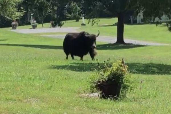 「死にたくないもん」肉屋へ運ばれる途中に牛が車から脱出、現在も逃走中