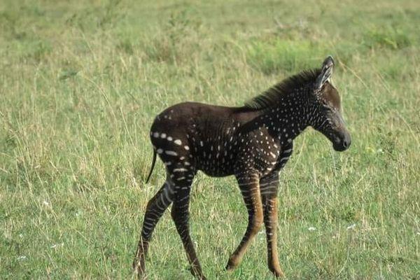ケニアの自然保護区で非常に珍しい、水玉模様のシマウマの子供が発見される
