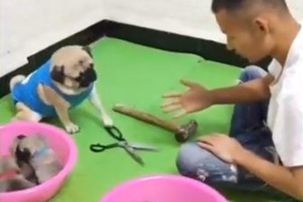 ジャンケンを理解するワンコ、飼い主と勝負して毎回勝つパグ犬が賢い
