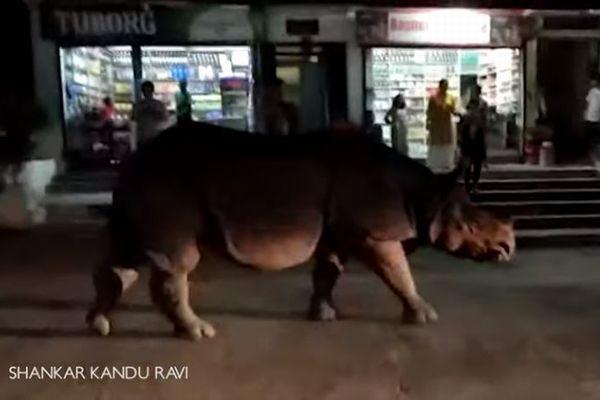 ネパールの街に巨大なサイが出現、マイペースで通りをゆっくり歩いていく