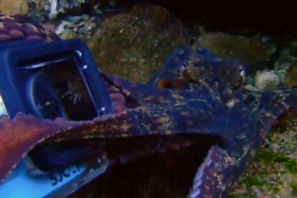 「これは僕のだ!」タコがダイバーのカメラを奪おうとする動画がユニーク