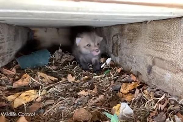 カナダでデッキの下に7匹の子ギツネ、保護された子供たちがかわいい【動画】