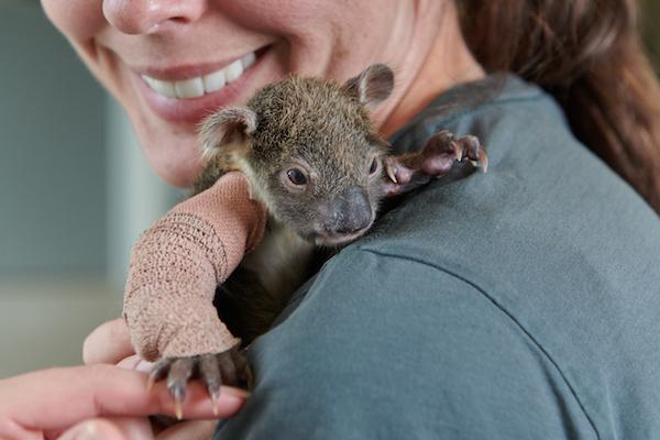 木から落ちたコアラの赤ちゃん、ギプスをつけて生き残る