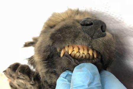 犬か?オオカミか?シベリアの永久凍土から謎の動物を完全な状態で発見
