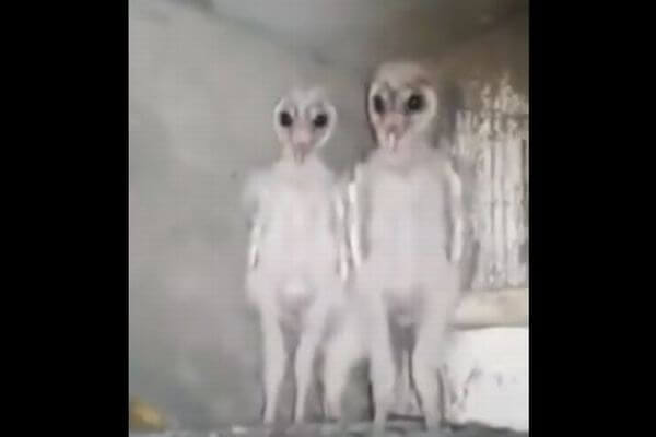 エイリアンはフクロウの子供だった?宇宙人ソックリの雛の動画が話題に