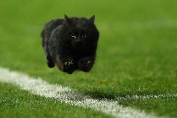 アメフトの試合会場に黒猫が乱入、走り回る姿にテレビの前のネコも反応