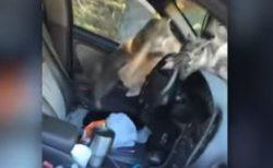 車に近づいていくと車内に野良猫が!行ったり来たりの大騒動【動画】