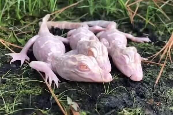 珍しいアルビノのアリゲーターが3匹も誕生、赤ちゃんの映像を公開
