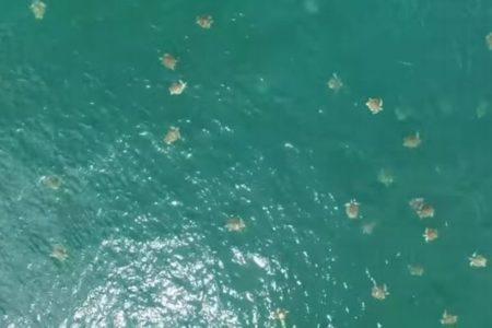 産卵のため集まってくる無数のウミガメ、ドローンで撮影した動画を公開