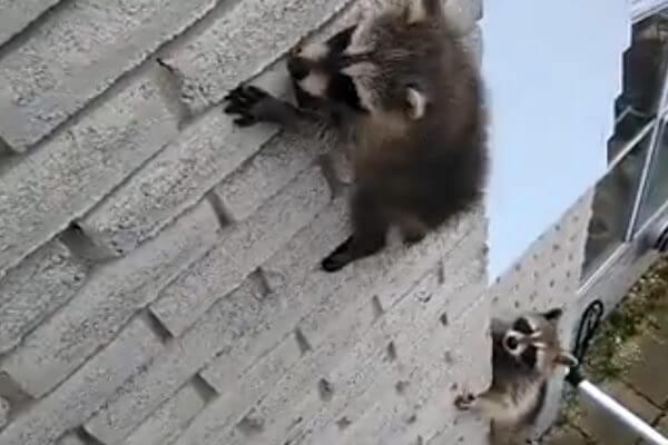 母アライグマが、高い壁で動けなくなった子の救助に向かう