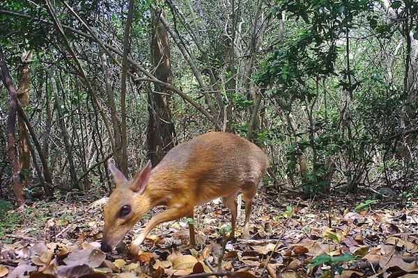 幻の動物とされたミニサイズの鹿「ネズミジカ」の撮影に成功