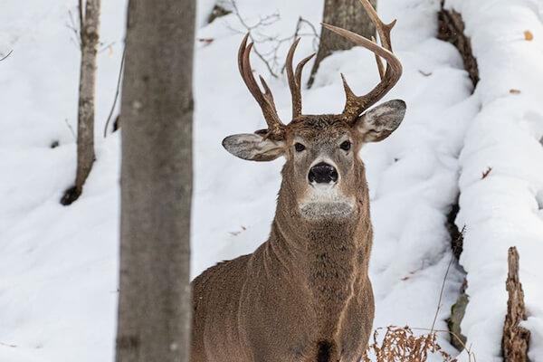 100万頭に1頭の確率、非常に稀な角が3本ある鹿の撮影に成功