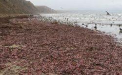 無数の奇怪な生物がカリフォルニアで打ち上げられ、ビーチを覆いつくす