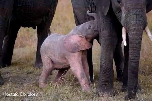 非常に珍しいピンク色のゾウの赤ちゃん、アフリカで撮影される