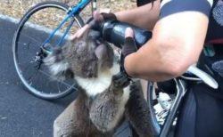 「喉が渇いて…」豪で暑さから野生のコアラが人間に助けを求める