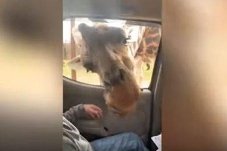 「Noooo~!」巨大なキリンの顔が車内に入ってきて、思わず少年が絶叫