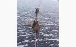 カナダ人の男性が、凍った湖で動けなくなった3頭のシカを救助