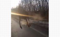 ロシアのハイウェイでヘラジカに遭遇、車に向かって突進してきた!【動画】