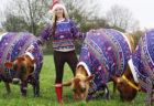 特大セーターを着たジャージー島のジャージー牛が可愛い