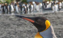古代の巨大ペンギンと現代の種との溝を埋める化石の研究結果が発表される