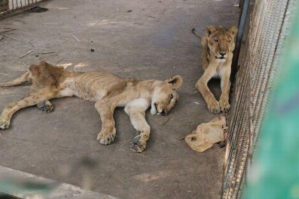 スーダンで飼育されているライオン、ひどく痩せた状態に救助を求める声が上がる