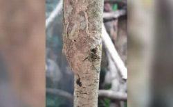 木と見分けがつかない!見事にカモフラージュするヤモリの動画がすごい
