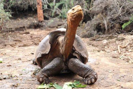 800匹の子を作り、種の絶滅を防いだガラパゴスのゾウガメがやっと引退