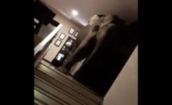 野生の象がスリランカのホテルに訪れ、ロビーを悠々と歩き回る