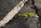 寒波のフロリダで、木からイグアナが降ってきた!