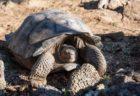 ガラパゴス諸島で、絶滅したと思われていたゾウガメの子孫を発見