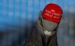 トランプ支持者がハトの頭に、「MAGA」の帽子を接着剤で付ける