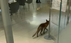 前代未聞!英議会内に野生のキツネが侵入、ウロウロしてウンチまで!