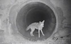 「早くおいでよ!」コヨーテとアナグマが仲良くトンネルをくぐる貴重映像