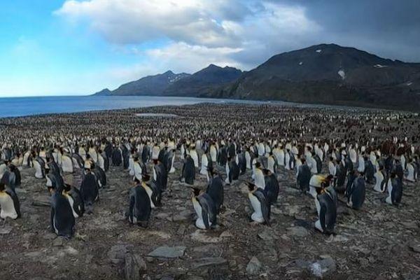 遥か彼方まで…ペンギンの巨大な群れをとらえた動画が圧巻