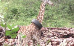 ケニアでタイヤが首にはまったキリンを発見、保護団体が救助に成功