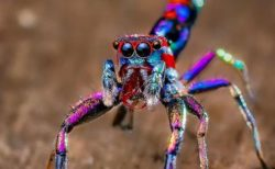 極彩色の輝きを放つカラフルなクモ、インドのアマチュア写真家が撮影