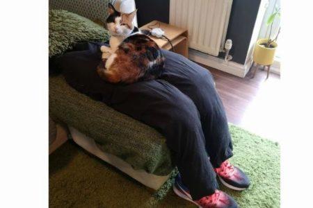 離れたがらないネコのために作ったフェイクの足、お気に入りの場所に