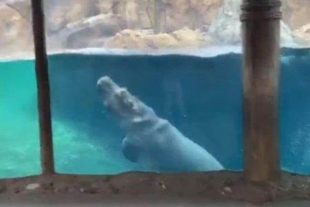 まるでクジラのよう!カバの子供がしなやかな動きで泳いでいく【動画】