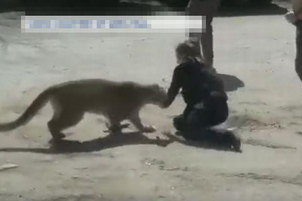 恐ろしい瞬間、米で女性警察官が野生のマウンテンライオンと素手で格闘【動画】