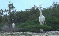 ケニアで暮らす珍しい白いキリンの親子、密猟者によって殺される