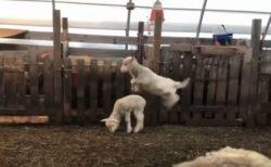 「なんだかうれしい、うれしいな!」何度も飛び跳ねる子羊に思わずほっこり