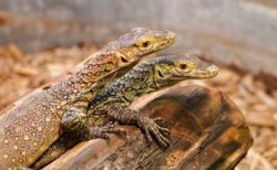 動物園で生まれたコモドオオトカゲ、DNAテストで受精していなかったことが判明