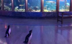 コロナウイルス対策で一時閉館した水族館を、ペンギンたちがお客になって見学