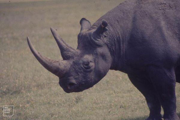 アフリカに生息する絶滅寸前のクロサイ、生息数が6年間で2.5%上昇