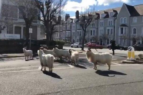 新型コロナで閑散とした英の街に、野生のヤギの群れが集まってきた!