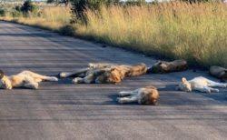 ロックダウンの影響で南アフリカの路上にライオンが出現、すやすやお昼寝