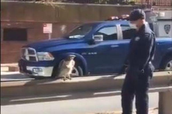 NYのハイウェイでケガを負ったタカ、ソフトタッチで保護した警官が見事