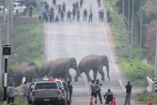 タイの道路に野生のゾウが出現、次から次へと現れ横断していく【動画】